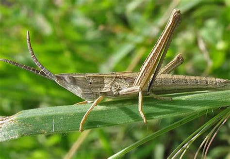 grasshopper le orthoptera of bc