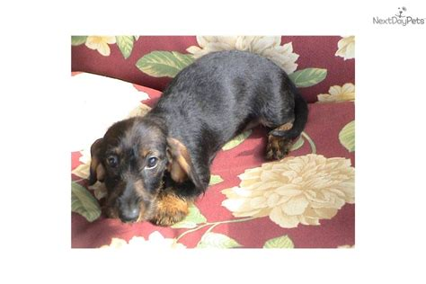 dachshund puppies for sale in ms boar mini dachshund puppies for sale in ma ms mo nc sc nd breeds picture