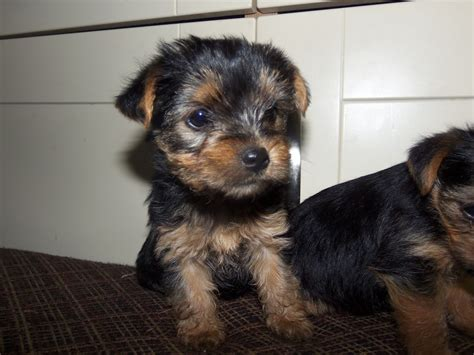 yorkie puppies for sale pa yorkie pin puppies for sale in pa breeds picture