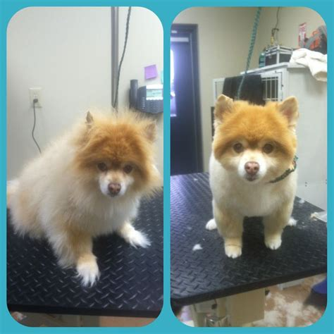 how to do a cut on a pomeranian pomeranian before and after grooming rachael graham pet stylist