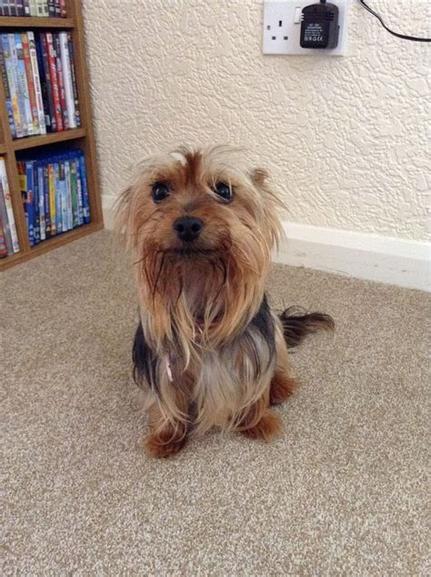 2 year yorkie for sale 2 year terrier for sale catterick garrison pets4homes
