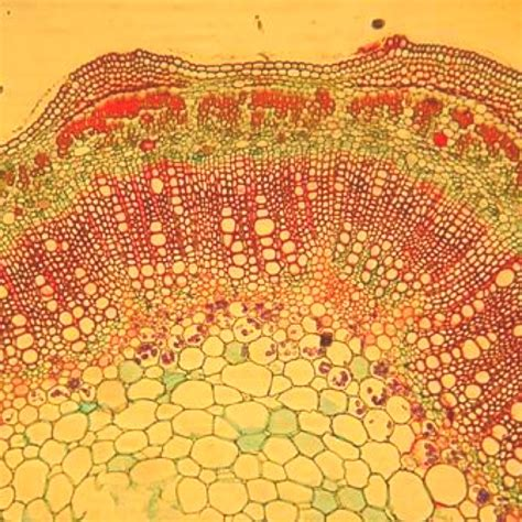 microscopic cross section cell cross section under a microscope cell pinterest