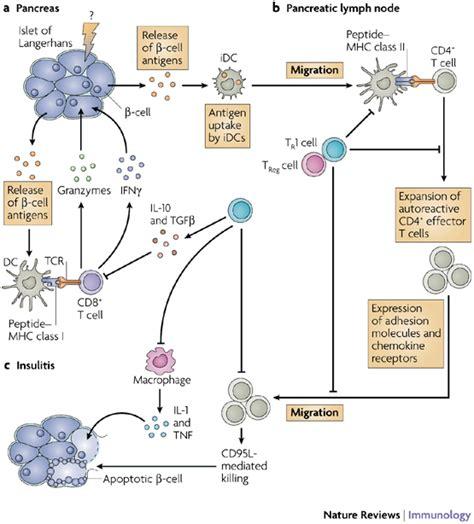 diabetes mellitus pathophysiology flowchart diabetes mellitus type 1 pathogenesis