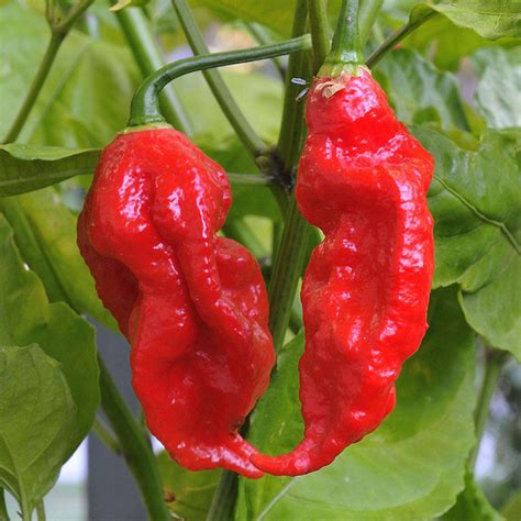 200pcs indian ghost pepper seeds chili seeds vegetable