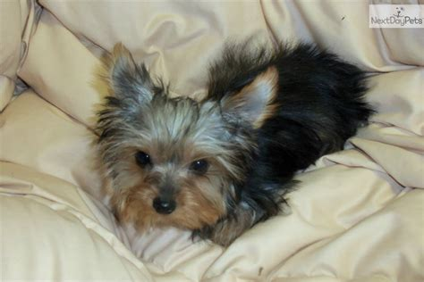 yorkie puppies in colorado terrier yorkie puppy for sale near eastern co colorado 7f64f4a8 d891