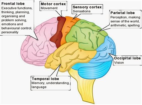 memory section of the brain biology diagrams images pictures of human anatomy and