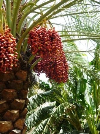 misfat al abriyyin contains lots of date palms and fruit - Fruit Trees In Alabama