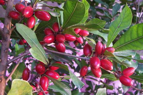 miracle tree fruit miracle fruit plant tree synsepalum dulcificum usa ebay