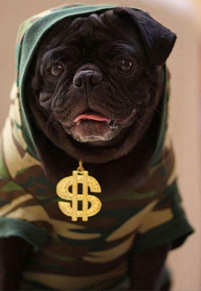 gangster pug gangster pugs sharenator