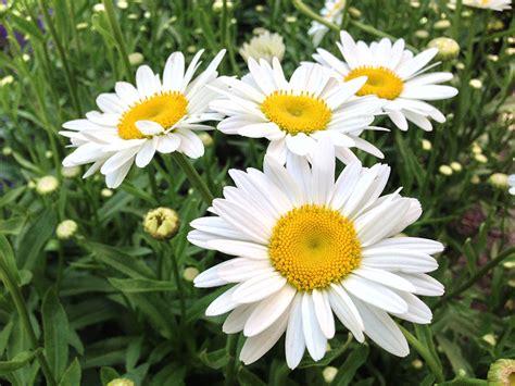 becky shasta daisy