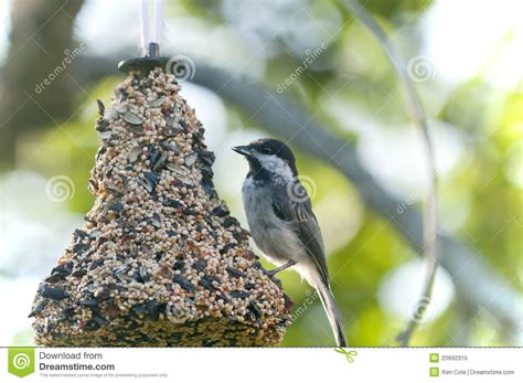 chickadee on bird feeder royalty free stock photo image