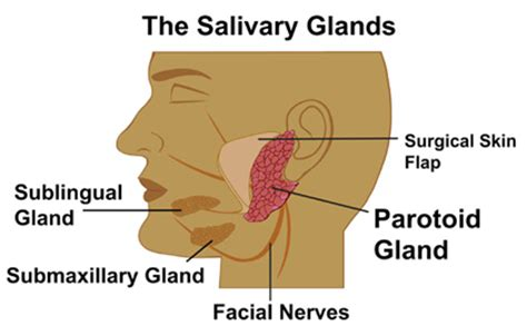 diagram of salivary glands salivary stones guide to detection symptoms treatment