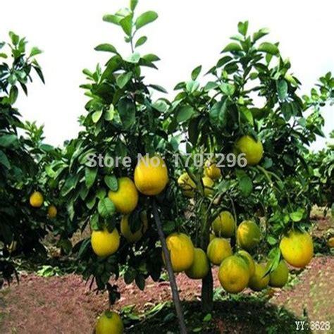 Pohon Jeruk aliexpress beli bonsai biji buah langka kerdil pohon