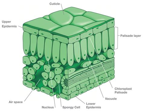 diagram of cross section of a leaf plants leaves