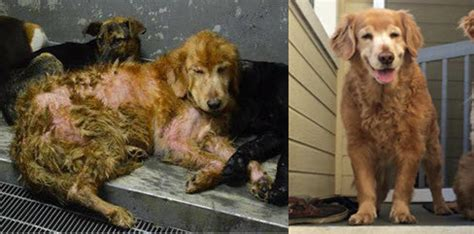 rescue golden retrievers from taiwan 36 rescue transformations that will restore your faith in humanity