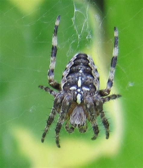 Garden Spider Cross Back Spider With Cross On Back By Dondons On Deviantart