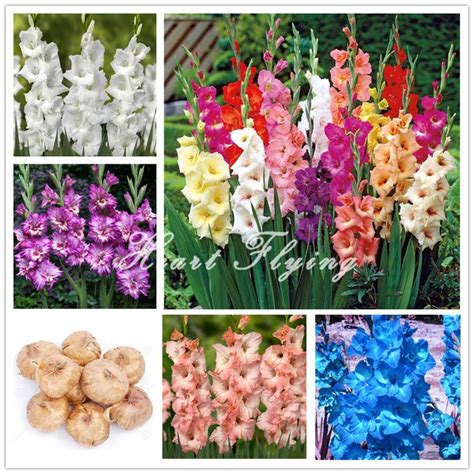 pcs lampu gladiol umbi bunga tidak gladiol biji abadi