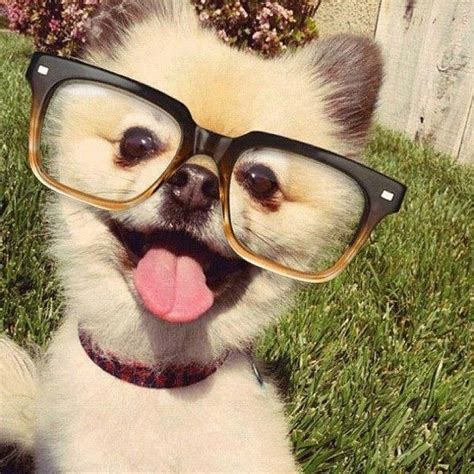 dogs with glasses dogs with glasses www imgkid the image kid has it