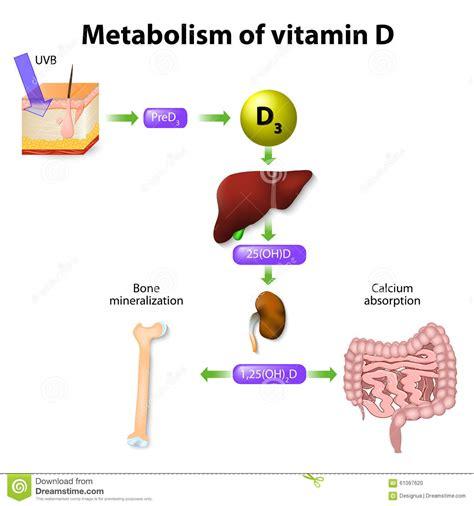 uvb l vitamin d m 233 tabolisme de la vitamine d illustration de vecteur