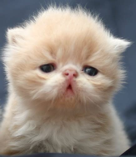 i gatti persiani gatti persiani gatti persiani