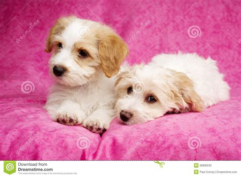 pink puppies two puppies laid on a pink background stock photos image 28900533
