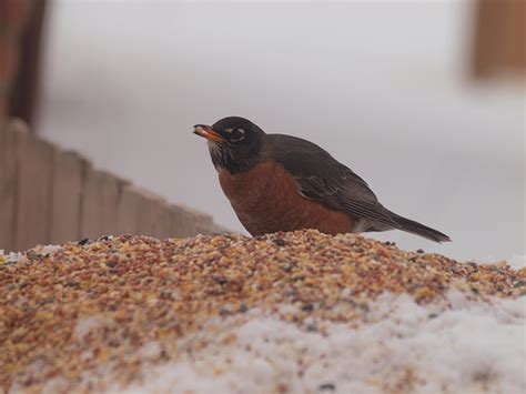 robin eating bird seed flickr photo sharing