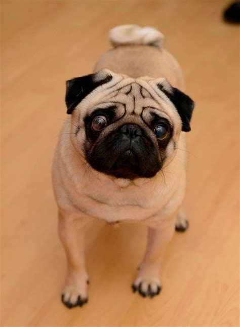 natzi pug pug told court comedian supported his joke daily record
