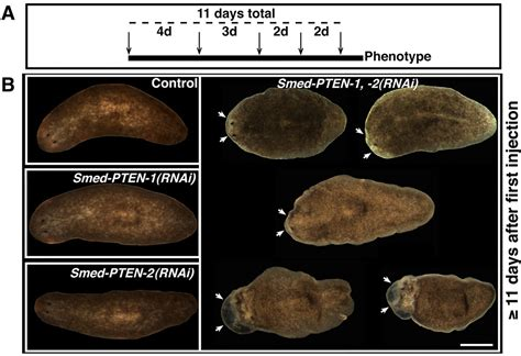 regeneration and pattern formation in planarians iii planarian pten homologs regulate stem cells and