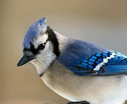 blue jay identification all about birds cornell lab of