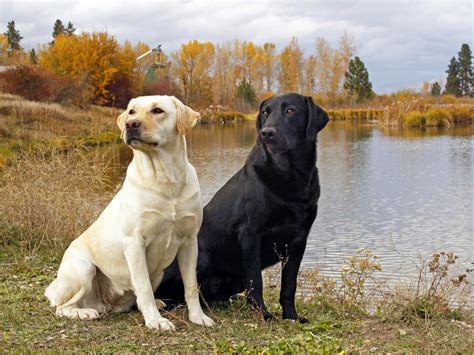 lab breed labrador dogs photograph all list of different dogs breed