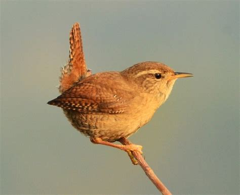 wren norfolk wildlife trust