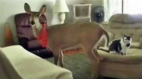 deer in house michigan family wins battle to keep pet deer video abc news