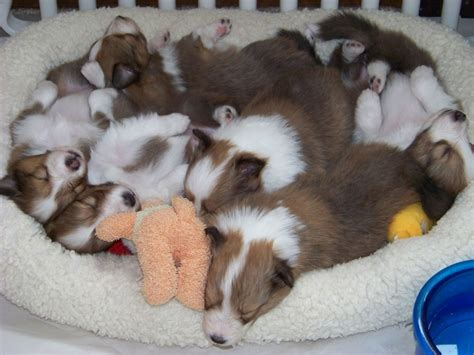 fuzzy puppies sheltie nation friday s featured fuzzy puppy