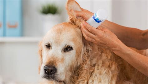 symptoms of ear mites in dogs ear mites in dogs symptoms treatments and prevention