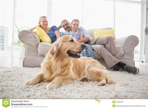 golden retriever for free to home golden retriever with family at home stock image image 50492387