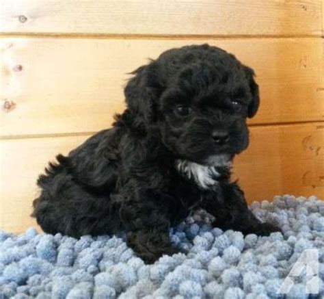 shih poo puppies for sale in michigan adorable michigan shih poo puppies available soon for sale in brockway michigan