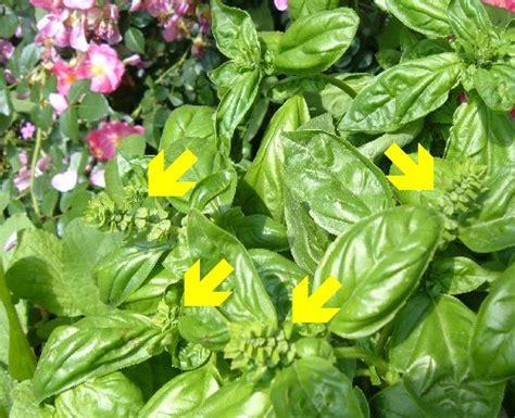 basilico in vaso malattie fare un orto 187 coltivare ortaggi