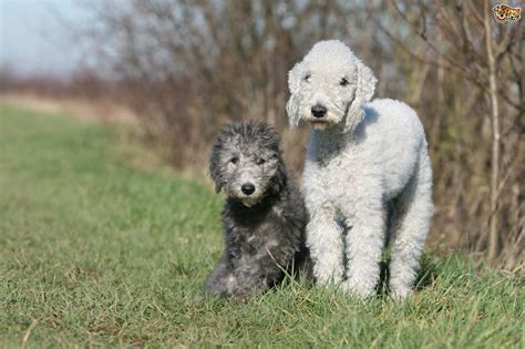 bedlington terrier puppies bedlington terrier breed information buying advice photos and facts pets4homes