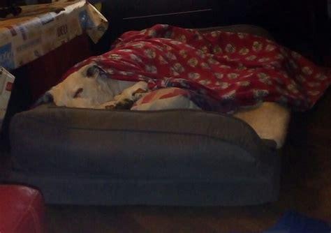 cani a letto letto per cani