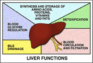creatine phosphate function care of your liver integrated liver care