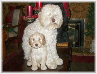 labradoodle puppy coat change white chocolate labradoodle puppies for sale in california country club