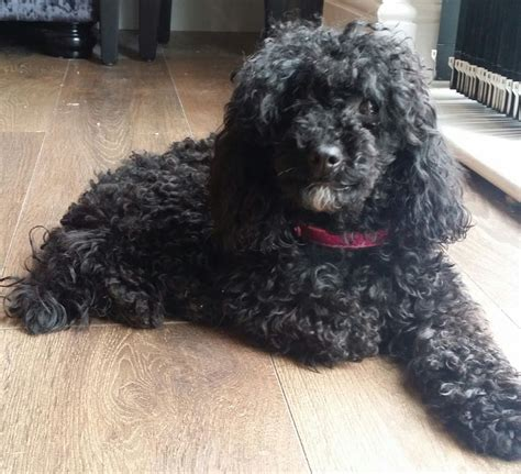 Micro Homes Beautiful Very Small Female Black Toy Poodle Spalding