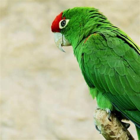 imagenes de loritos verdes vitaminas para el plumaje de los loros