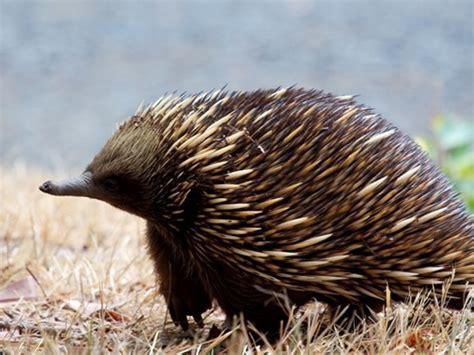 big  fauna tipe australia