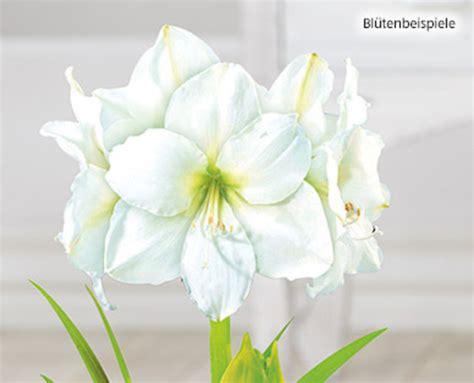 Line Maxy By Amaryllis gardenline 174 amaryllis aldi s 252 d ansehen