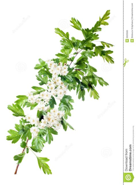spring hawthorn blossom royalty free stock photo image