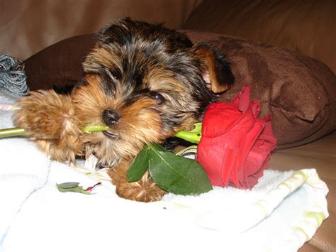 yorkie babies for free safarri for sale jovail teacup yorkie baby puppies for free