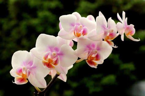 come curare orchidea in vaso come coltivare le orchidee in casa orchidea come curare e