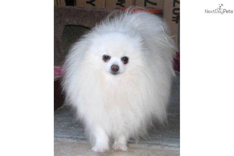 4 lb pomeranian meet kooma a pomeranian puppy for sale for 600 white polar size 5lbs