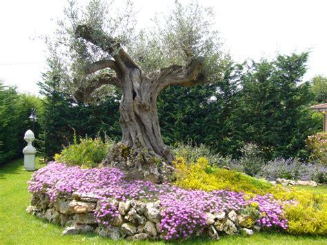 giardini con ulivi aiuola con ulivo e fiori progetti da provare